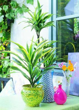 Foto Holandská květinářská kancelář. Dracaena.
