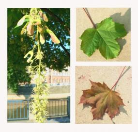 Zleva plody javoru, nahoře Acer pseudoplatanus, dole Acer platanoides - kultivar.
