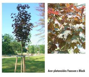 Foto Acer platanoides faassen´s black.