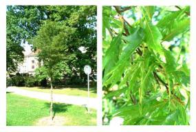 Fagus sylvatica asplenifolia.