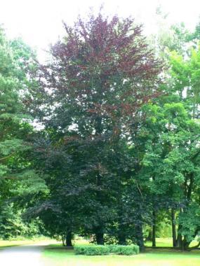 Fagus sylvatica purpurea.