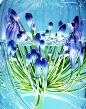 Foto Holandská květinářská kancelář. Agapanthus.