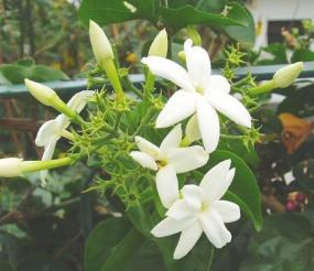 Stephanotis floribunda (madagaskarský jasmín)