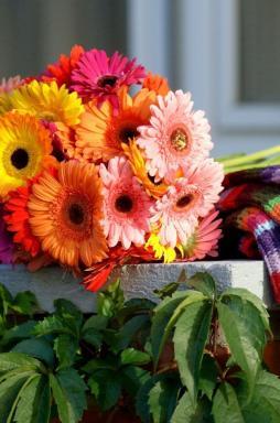 GERBERA. Foto Holandská květinářská kancelář.