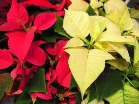 Žlutá poinsettie.