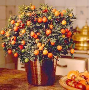 Solanum capsicastrum. (Foto Holandská květinářská kancelář)