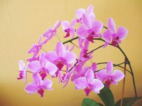Foto Phalaenopsis (Falenopsis)
