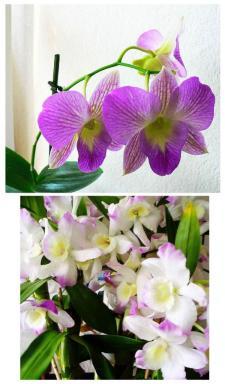 Foto Dendrobium