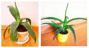 Agave americana, Aloe arborescens