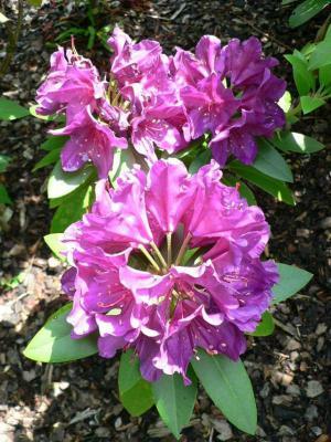 Rhododendron žádá kyselou půdu