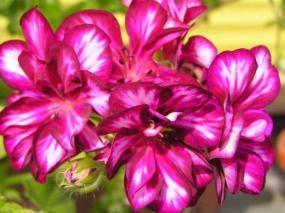 Foto: ČESKÉSTAVBY.cz, Pelargonie - balkonová rostlina