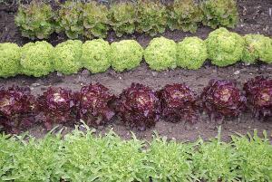 Listová zelenina  (zdroj: www.shutterstock.com)
