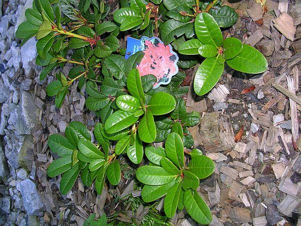 Foto: ČESKÉSTAVBY.cz, Rhododendron
