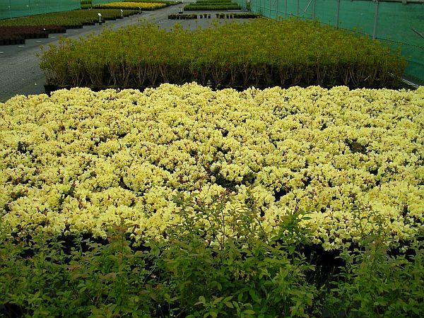 Foto: ČESKÉSTAVBY.cz, kanadské borůvky a rododendrony (foto ze zahradnictví)