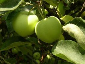 Foto: ČESKÉSTAVBY.cz, letní jablko