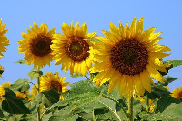 Ilustrační foto (www.shutterstock.com), slunečnice - symbol nejen léta