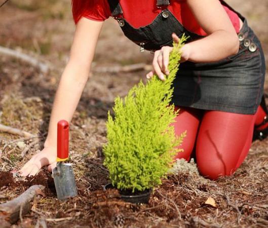 Ilustrační foto (www.shutterstock.com), výsadba jehličnanu
