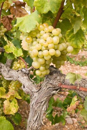 Ilustrační foto (www.shutterstock.com), hroznové víno