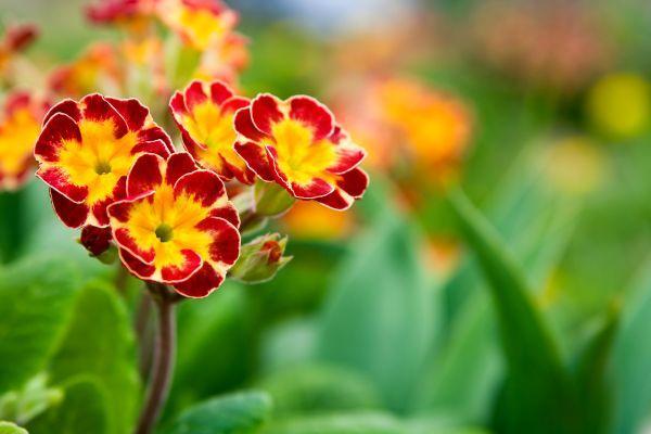 Ilustrační foto (www.shutterstock.com), petrklíč kvetoucí na jaře