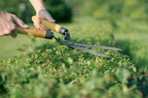 Střihání živého plotu, drobnější úprava, na radikální řez potřebujeme křovinořez, ilustrační foto (www.shutterstock.com)