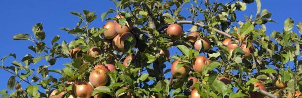 Ilustrační foto (www.shutterstock.com), jablka