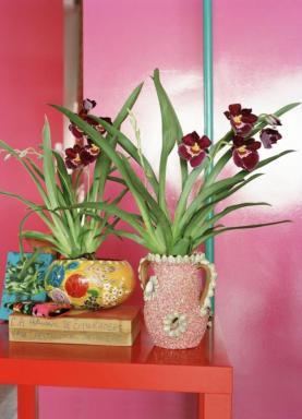 Foto: Holandská květinářská kancelář, miltonia