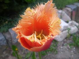 Tulipán  Bell Song