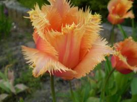 Tulipán Lambada