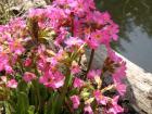 Růžová prvosenka si libuje v bahnitém břehu.