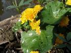 Dalším bahňáčkem je Caltha palustris ´Multiplex´. Je pravda, že vodní zahrada není úplně vhodná pro vysoké kramflíčky, kravatky a bílé sukýnky.