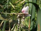 Na mělkovodní  vegetaci (šmel okoličnatý) je možno pozorovat po dlouhé minuty vodní hmyz.