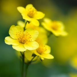 Ilustrační foto (www.shutterstock.com), květ mochny křovité