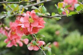 Ilustrační foto (www.shutterstock.com), květy kdoulovce