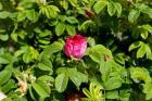 Ilustrační foto (www.shutterstock.com), růže