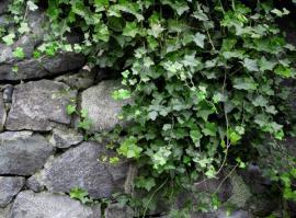 Ilustrační foto (www.shutterstock.com), břečťan
