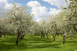 Ilustrační foto (www.shutterstock.com), proměny jabloňového sadu - na jaře