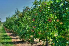 Ilustrační foto (www.shutterstock.com), proměny jabloňového sadu - před sklizní