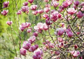 Ilustrační foto (www.shutterstock.com), magnolie
