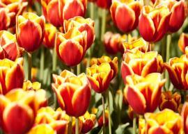 Ilustrační foto (www.shutterstock.com), tulipány