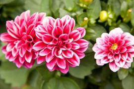 Ilustrační foto (www.shutterstock.com), jiřina