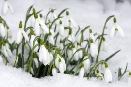 Ilustrační foto (www.shutterstock.com), sněženky