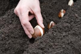 Ilustrační foto (www.shutterstock.com), výsadba tulipánů
