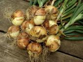 Ilustrační foto (www.shutterstock.com), kuchyňská cibule