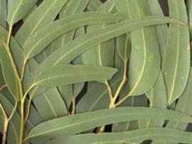 Foto: PEMAČAS, eukalyptus - aromatická vonná silice