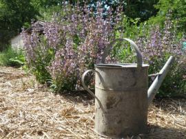 Foto: Ing. Hana Zachariášová, Salvia officinalis (šalvěj lékařská)
