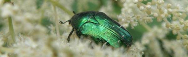 Foto: Ing. Hana Zachariášová, Některé rostliny přilákají určitý druh krásného hmyzu - zlatohlávci na udatně