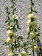 Alcea rosea (slezová růže)
