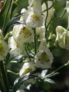 Aconitum napellus ´Album´