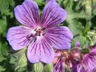 Geranium magnificum (kakost)