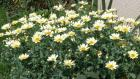 Leucanthemum Broadway Lights